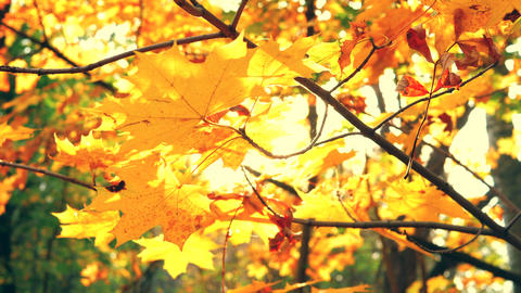 Sunbeams pass through autumn leaves and maple branches in a beautiful park ライブ動画