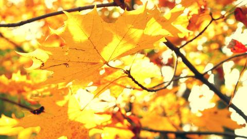 Autumn golden leaf on blurred depth of field background park. Colorful autumnal Live Action