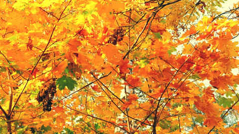 Slow motion Autumn leaves on maple branch in park. Colorful autumnal leaf Live Action