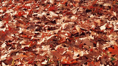 Autumn leaves on floor in park. Colorful autumnal maple leaf closeup. Orange Live Action