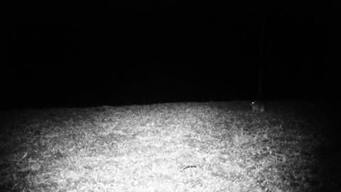 House Mouse (Mus Musculus) in a Grass Field in the Night. Animals in FullHD Footage