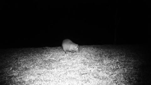 Coypu (Myocastor Coypus) or Nutria Looks for Food in a Grass Meadow in the Night Footage