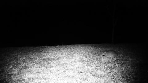 House Mouse (Mus Musculus) Runs in a Grass Field in the Night Footage