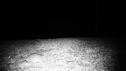 House Mouse (Mus Musculus) in a Meadow in the Night. Nature Animals FullHD Video Live Action