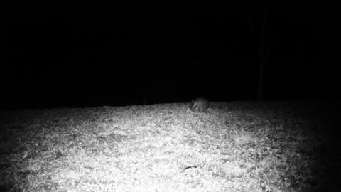 Two House Mouses (Mus Musculus) Run Jump and Fight in a Meadow in the Night Footage