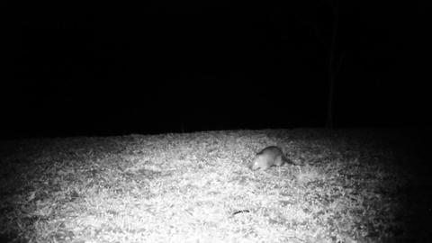 House Mouse (Mus Musculus) Smells and Walks in a Meadow in the Night Footage