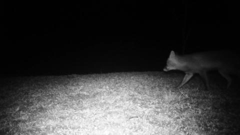 Red Fox (Vulpes Vulpes) Looks at the Camera and Walk Away in the Night Footage
