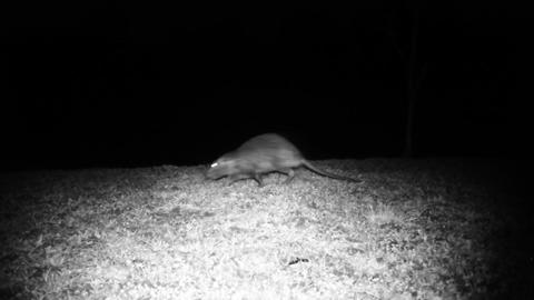 Coypu (Myocastor Coypus) or Nutria Walks in a Meadow in the Night Footage