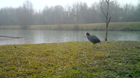 Eurasian Coot or Common Coot (Fulica Atra) in a Meadow in Winter Day with Rain Footage