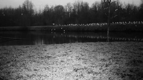 A Flock of Western Cattle Egret (Bubulcus Ibis) close to a Pond by Night Footage