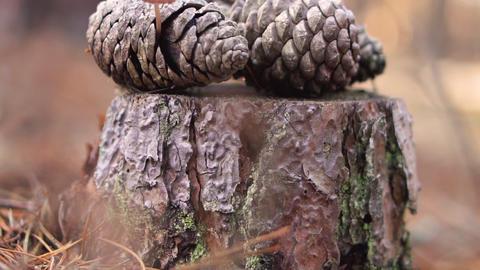 Pine cone mushroom, Mycena seynesii, growing in forest GIF