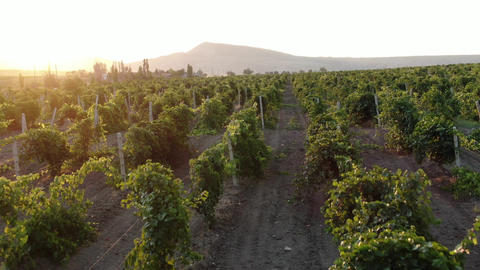 smooth flight over the vineyards at sunset. In the distance, dust rises from a Live Action