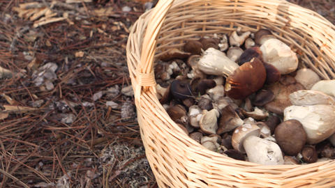 Autumn is the time of mushroom gathering. Wicker basket with mushrooms on a GIF