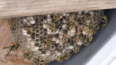 Entomology videos: yellowjacket paper wasp (Polistes gallicus) nest in 4K UHD Footage