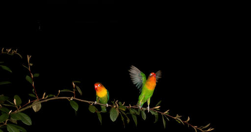 Fischer's Lovebird, agapornis fischeri, Pair standing on Branch, taking off, in flight, slow motion Footage