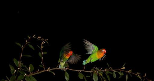 Fischer's Lovebird, agapornis fischeri, Pair standing on Branch, taking off, in flight, slow motion Footage