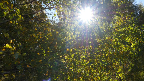 He goes through the green forest of birch and watch the sun through the leaves 1 Footage