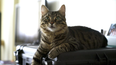 Beautiful tabby cat lie on hard case Footage