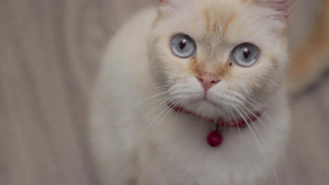 A female cat looks around, red point siamese Footage