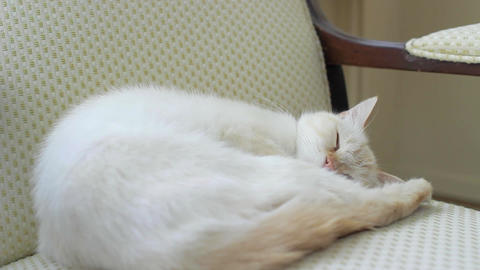 A female cat sleeps on chair - red point siamese Footage