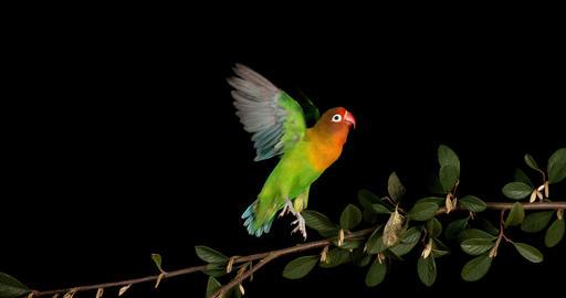 Fischer's Lovebird, agapornis fischeri, Adult standing on Branch, taking off, in flight, slow motion Footage