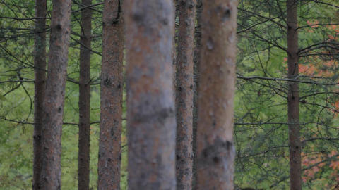 Wild pine forest with green moss under the trees. Moving between trees in Live Action