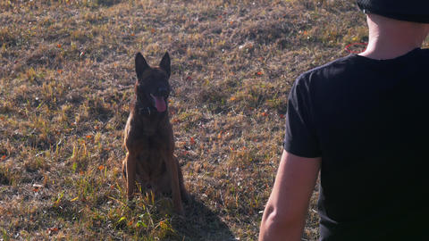 German shepherd dog sitting on the grass and barking on the command Live Action