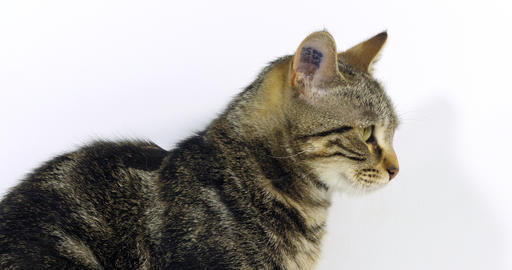 Brown Tabby Domestic Cat, Portrait of A Pussy On White Background, Licking its Nose, Slow Motion 4K Live Action