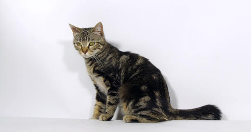 Brown Tabby Domestic Cat, Pussy sitting On White Background, Slow Motion 4K Footage
