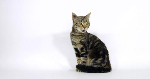 Brown Tabby Domestic Cat, Pussy sitting On White Background, Walking, Slow Motion 4K Live Action