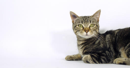 Brown Tabby Domestic Cat, Portrait of A Pussy On White Background, Meowing, Slow Motion 4K Footage