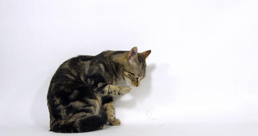 Brown Tabby Domestic Cat, Pussy sitting and Licking its Paw On White Background, Slow Motion 4K Live Action