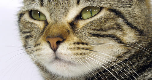 Brown Tabby Domestic Cat, Portrait of A Pussy On White Background, Close-up of Eyes and Mustache, Footage