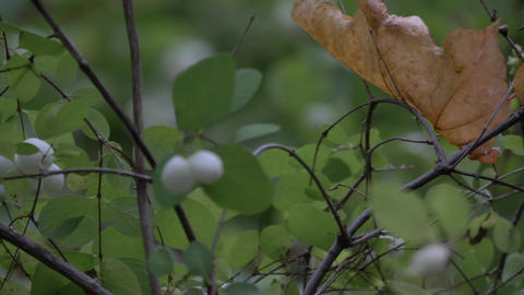 Closeup white toxic berries symphoricarpos,waxberry ghostberry with yellow or Live Action