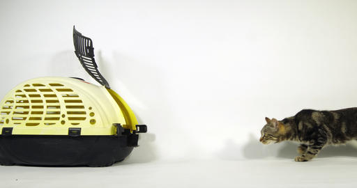 Brown Tabby Domestic Cat, Pussy Walking to its Carrying Basket on White Background, Slow Motion 4K Footage