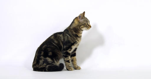 Brown Tabby Domestic Cat, Pussy sitting On White Background, Slow Motion 4K Live Action