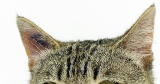 Brown Tabby Domestic Cat, Portrait of A Pussy On White Background, Close-up of Ears, Slow Motion 4K Footage