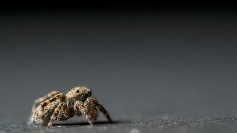 Small jumping spider on a grey background Live Action