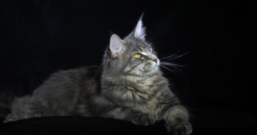 Blue Blotched Tabby Maine Coon Domestic Cat, Female laying against Black Background, Normandy in Live Action