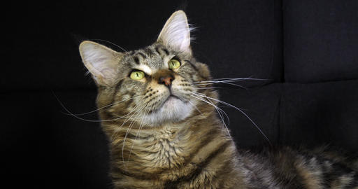 Brown Blotched Tabby Maine Coon Domestic Cat, Portrait of Male against Black Background, Normandy in Footage