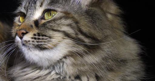 Tortie Maine Coon Domestic Cat, Portrait of Female against Black Background, Normandy in France, Live Action