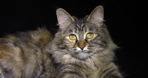Tortie Maine Coon Domestic Cat, Female laying against Black Background, Normandy in France, Slow Live Action