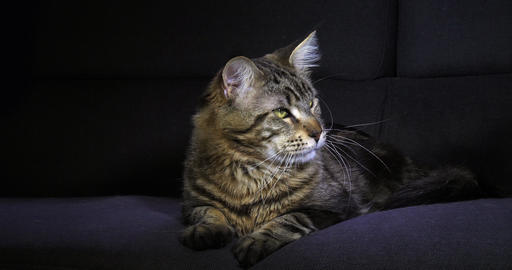 Brown Blotched Tabby Maine Coon Domestic Cat, Male laying against Black Background, Normandy in Live Action