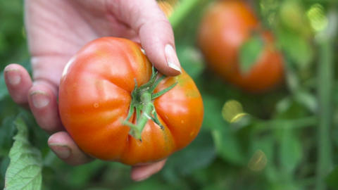 Farmer hand harvesting Ripe tomato fruit on the plant. Harvest of tomatoes in a GIF