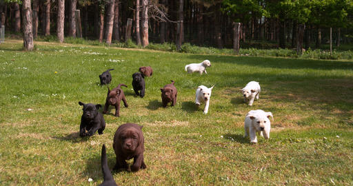 Yellow, Brown and Black Labrador Retriever, Puppies running on the Lawn, Normandy in France, Slow Live Action