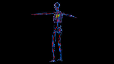 Full body medical footage with x-ray view showing skeletal and circulatory syste Footage