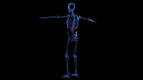 Full body medical footage with x-ray view showing skeletal and urinary systems Live Action