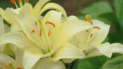 Petals of yellow lily under rain Footage