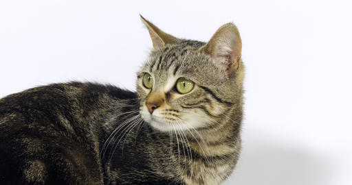Brown Tabby Domestic Cat, Portrait of A Pussy On White Background, Slow Motion 4K Live Action