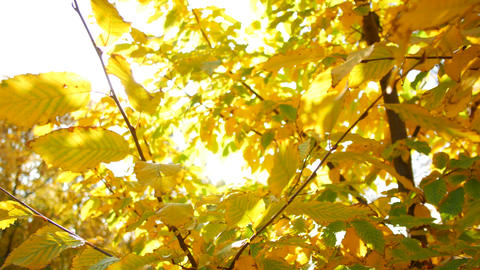 Yellow autumn leaves on trees in the sunshine. Warm autumn days Live Action